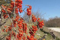 American Bittersweet Vine Celastrus Scandens Seeds | eBay