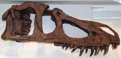 Marshosaurus_bicentesimus.jpg (2761×1342) - Reconstruction du crâne de M. b. aka M. sp. , CM 21704, au Carnegie Museum of Natural History, Pittsburgh, Pennsylvania, USA. Provient du Dinosaur National Monument, nord-est de l'Utah, USA. Crétacé supérieur de la Formation Morrison. Dinosauria, Saurischia, Theropoda, Megalosauroidea, Piatnitzkysauridae. Auteur : James St. John / Flickr. 2009.