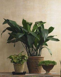Aspidistra elatior Air Plants, Garden Plants, Indoor Plants, Indoor Gardening, Indoor Trees, Flower Gardening, Plantas Indoor, Cast Iron Plant, Low Light Plants