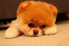 Boo- cutest dog in the world