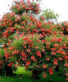 Nome científico:  Erythrina Crista Galli  Nomes Populares:  Eritrina Crista Galli, Flor de Coral, Corticeira, Crista de Gallo.