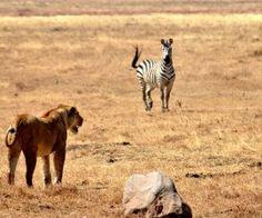 Auch wenn sie scheinbar nicht auf Jagd ist wird die Löwin ganz genau beobachtet.
