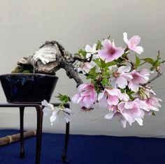 Beautiful flowering Bonsai tree, photo by Miyazato Rintaro #bonsai #盆栽 #盆景 #bonsaitree #nature #trees #spring