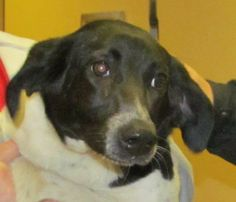 URGENT! PRINCESS LISSA IS WAITING FOR YOU!!!! COME DOWN & MEET THIS SWEET GIRL SOON!!!! (cuddlebug) CANTON, OHIO.....Meet 07 Lissa a Petfinder adoptable Spaniel Dog | Canton, OH | Available for immediate adoption. . Little Lissa is a very spunky dog!  It's all about running and...