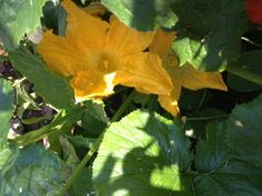 6 Tips to growing great zucchini - gardening tips, growing food