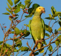 is located between states of Mato Grosso do Sul and Goias in the West Central Region of It has about animals and other mammals such as marsh deer, gray and red brocket. It has an area of 1320 square kilometers. Brazil Beauty, Car Rental, Mammals, Parrot, Birds, Gray, Parrot Bird, Brazil, Grey