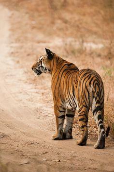 Big Cats, Cool Cats, Animals And Pets, Cute Animals, Gato Grande, Wild Tiger, Norwegian Forest Cat, Jaguar, Siberian Tiger