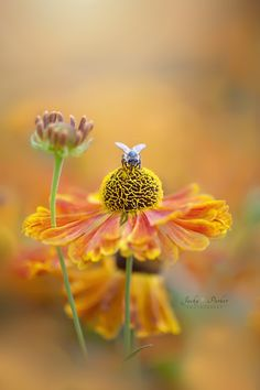 Helenium Collection by Jacky Parker on 500px