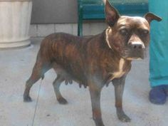 TO BE DESTROYED 09/29/16 ** AVERAGE RATED SENIOR ** So many stories are lost as dogs are surrendered to the ACC OF NYC. Kalina arrived as a stray with a Department of Health hold due to a bite. Kalina is a forty seven pound Pitty mix with worn down teeth, she has mammary masses that need to be checked and no doubt has been used for breeding. Even with so many worries and troubles, Kalina has performed like a rock star at the shelter. She aced her behavioral SAFER with excellent conduct and…