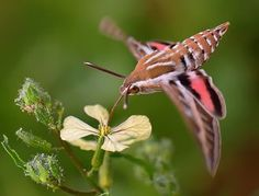 The Hummingbird Hawk-moth (Macroglossum stellatarum) I've only seen this moth 3 times in my life. They really look like a hummingbird! Beautiful Bugs, Beautiful Butterflies, Amazing Nature, Hummingbird Moth, Especie Animal, Cool Bugs, Flying Flowers, Moth Caterpillar, Hawk Moth