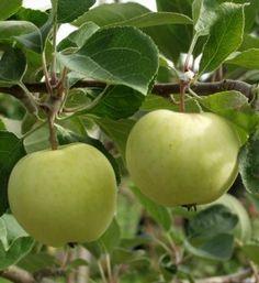 Omena Valkeakuulas----Valkea Kuulas[1] on tarhaomenapuun (Malus domestica) lajike, joka levisi Suomeen Baltiasta 1850-luvulla nimellä valkoinen kirkasomena. Sen siitepöly itää hyvin, ja siksi sitä pidetään yhtenä parhaimmista pölyttäjälajikkeista. Puu tuottaa joskus siemenettömiä hedelmiä. Ensimmäisen sadon puu tuottaa kaksi-kolmevuotiaana ja sadot ovat usein suuria. Maanlaadun suhteen puu ei ole vaativa ja usein se ei elä kovin vanhaksi.