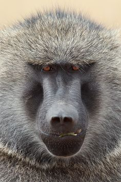 Olive Baboon | Olive Baboon close-up