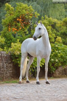 Lusitano horses in Portugal by Ekaterina Druz Equine Photography