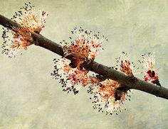 maple blossum