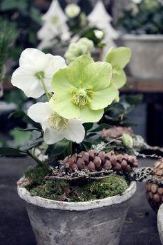 Ich liebe Christrosen zur Weihnachtszeit.  Heute durfte ich die Weihnachtsausstellung bei meiner Floristin (Blumen Baro)  fotogr...