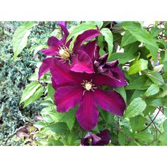 My yard will have tons of these someday :) <3 clematis
