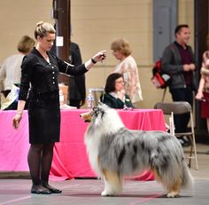 Even with the stage moms and the security detail for some of the dogs, the big show is probably a lot different than you've imagined. The post I& a Dog Handler—Here& What It& Like to Show at the Westminster Dog Show appeared first on Reader& Digest. Rare Dogs, Rare Dog Breeds, Cute Dogs Breeds, Westminster Dog Show, Clumber Spaniel, Best Dogs For Families, Poodle Grooming, Big Show, Dog Modeling
