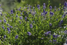 Ceanothus Skylark is really green with blue flowers and will grow throughout most of California. Skylark makes a nice little native hedge or...