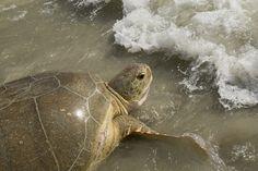 SeaWorld Orlando Animal Rescue Team returns green sea turtle and eggs to Cocoa Beach