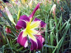 Mariosa Troubadour from Waterman Gardens