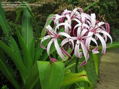 Full size picture of Giant Spider Lily, Queen Emma Lily (Crinum augustum) Tropical Landscaping, Landscaping Plants, Tropical Garden, Perfect Plants, Cool Plants, Exotic Flowers, Amazing Flowers, Giant Spider, Landscape Plans