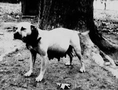 Ch Honeybunch ROM (Walling's Bullyson x Carver's Amber) Among many others, Honeybunch produced Jeep, Bully Bob, and Weehunt Pit Dog, Dog Line, American Pitbull, Bullmastiff, Bully Dog, Dog Games, Man Stuff, Pitbull Terrier, Historical Photos