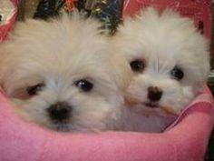 Free Pet Adoption Dogs Puppies Maltese puppies