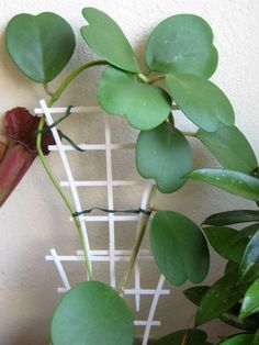 Hoya kerrii – Sweetheart Hoya - See more at: http://worldofsucculents.com/hoya-kerrii-sweetheart-hoya