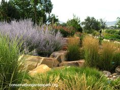 Garden Loop- Stipa Grass in front, Russian Sage (purple), 'Karl Forester' Feather Reed Grass (right middle), Purple Coneflower (back) all mixed with large rocks. Gorgeous!