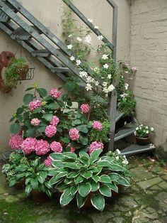 potted hydrangea for decks | Hostas, Hydrangeas and clematis in pots create an urban garden