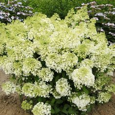 Bobo Hydrangea paniculata 'Ilvobo'. Flower factory, producing big heads of white blooms that slowly turn pink in the fall. Cold-hardy, dwarf variety that grows only 3 feet tall You could plant a line of Bobo hydrangeas to create a traffic-stopping low hedge. Full sun or part shade and moist, well-drained soil.  To 3 feet tall and 4 feet wide. Zones: 3-9