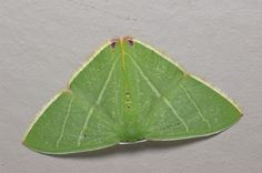 Class:	Insecta Order:	Lepidoptera Family:	Geometridae Genus:	Chlorocoma Species:	sp Common Name:	Emerald Moth