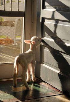 lamb come calling!