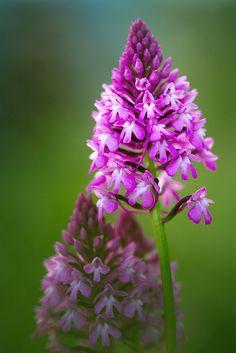 #Flowers | #flower | #Anacamptis pyramidalis