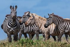 A rare blonde zebra was discovered frolicking at Serengeti National Park in the first-ever documented wild sighting of the animals' paler counterpart. The blonde zebra can be seen socializing with a herd of its standard striped counterparts Zebras, Mount Kenya, Melanism, Surviving In The Wild, Serengeti National Park, Wildlife Photography, Predator, Animals Beautiful, Giraffe