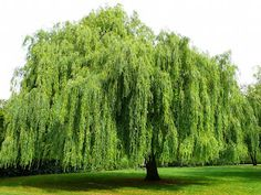 Willow Tree  always loved these trees as a kid. found them amazing. still do.