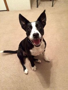 Boston Terrier / Border Collie / Mixed (short coat) Picture: Photos of Banjo available for adoption in Bradenton, FL 34211. Photo 2