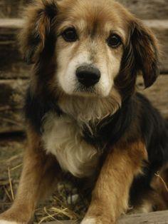 Golden Retriever - Beagle