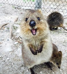 30 Funny Quokka Pictures That Will Make You Book a Flight to Australia to See Them Happy Animals, Cute Funny Animals, Animals And Pets, Cute Creatures, Beautiful Creatures, Animals Beautiful, Australian Animals, Tier Fotos, Cute Animal Pictures