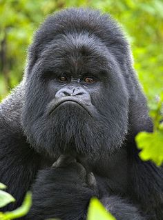 A pensive gorilla