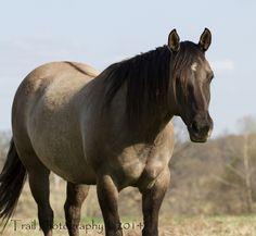 Grulla Quarter Horse (Sage) in my world Honey