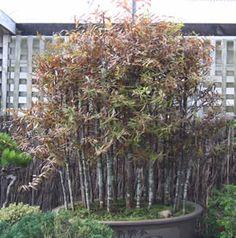 New Zealand Bonsai Association Bonsai Plants, New Zealand, Nativity, The Nativity, Bonsai, Birth