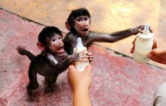 """""""Baby Hamadryas baboons reach for milk bottles as a zookeeper feeds them at a zoo in Hangzhou, Zhejiang province, September Most Popular Instagram, Like Instagram, Instagram Images, Baby Animals, Cute Animals, Picture Editor, World Images, Baboon, Expecting Baby"""