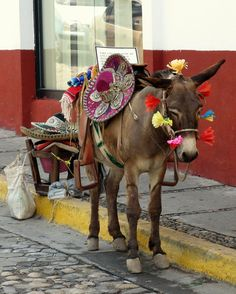 #Mexico A donkey in Puerto Vallarta