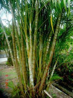 Growing Areca Palms Indoors as Houseplants