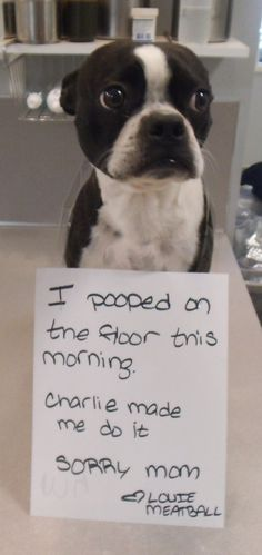 Morning shame #BostonTerrier