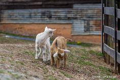Baby Goats Escape!