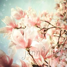 magnolia tree photography  pastel pink floral wall by Jenndalyn