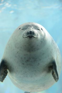 Sea Lions are so precious is can't deal Cute Creatures, Sea Creatures, Beautiful Creatures, Animals Beautiful, Cute Baby Animals, Animals And Pets, Funny Animals, Cute Seals, Photo Animaliere