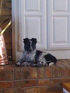 Pepper the Puppy (Border Collie/Blue Heeler mix)